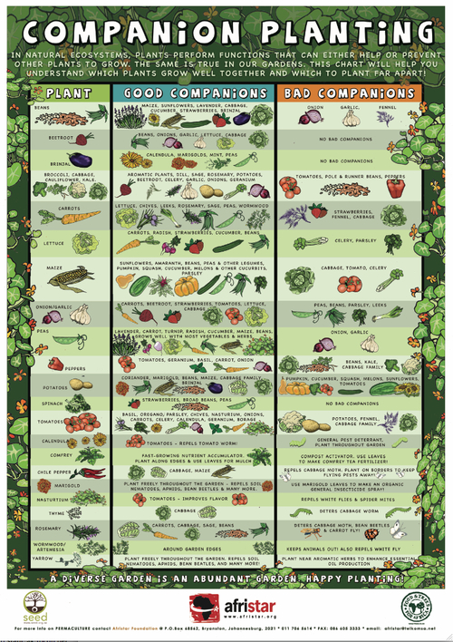 Companion planting guide diy or die survival in a post apocalyptic world - Checklist for your vegetable garden in august ...